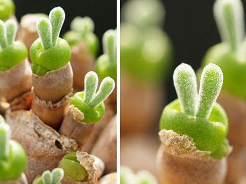Ces adorables succulentes en forme de lapin font le buzz