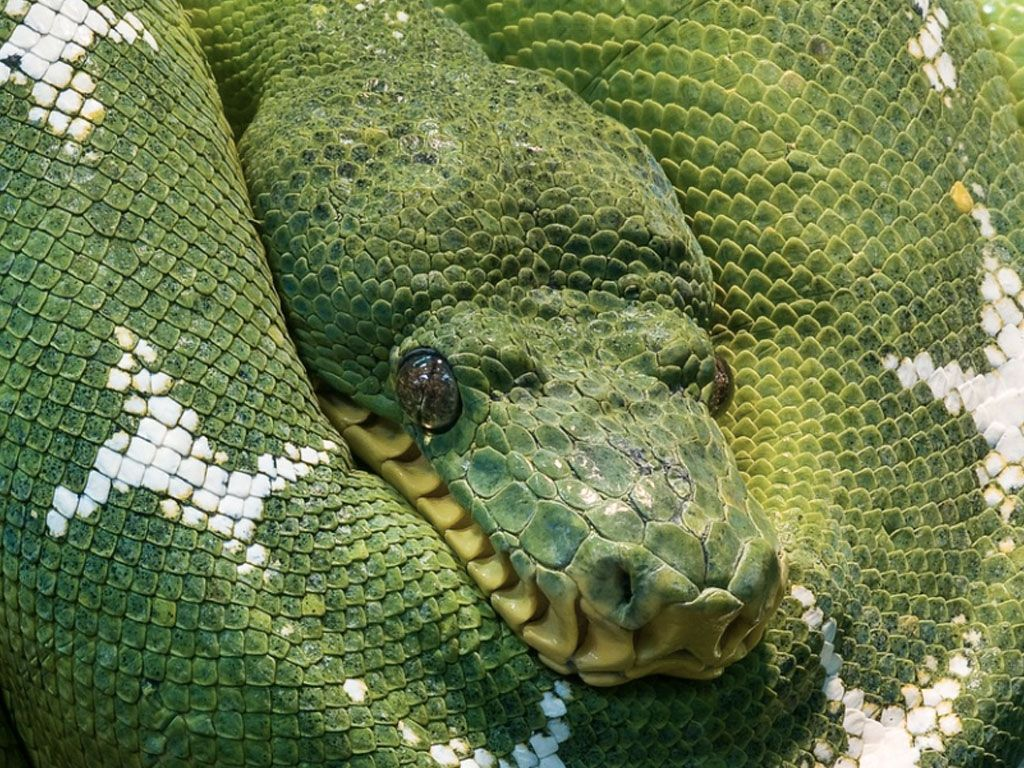En Indonésie, le cadavre d'un homme entier est retrouvé dans le corps d'un python !